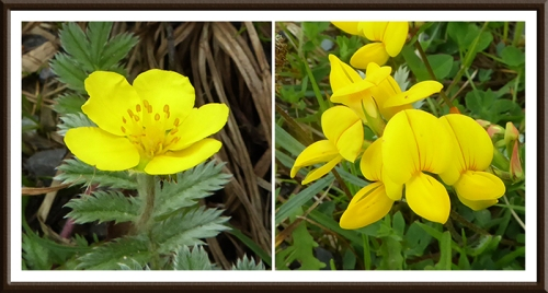 silverweed and birdsfoot trefoil