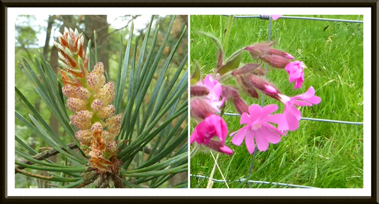 pine flowers and red campion