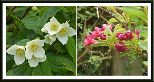 philadelphus and weigela