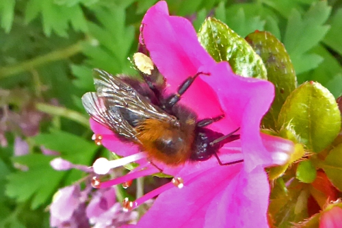 bee on Japanese azalea