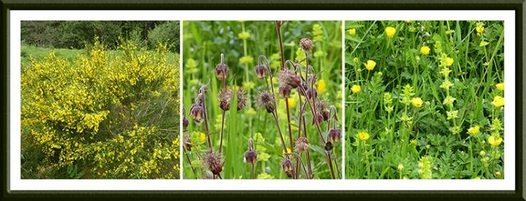 broom, geum, crossowort and buttercups