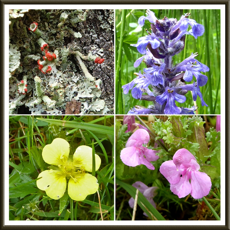 lichen, bugle, tormentil and an a pretty pick flower