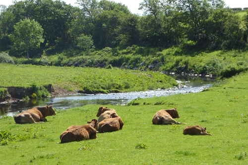 Cows beside the Kirtle Water