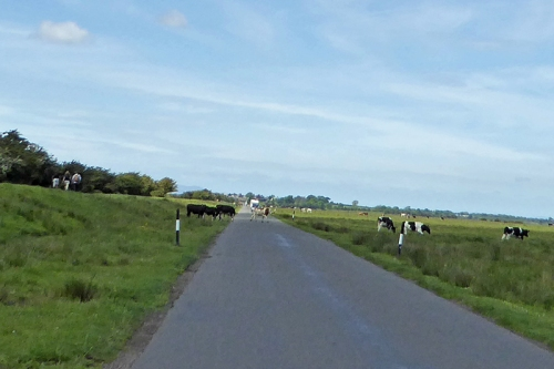 Cows on road at Drumburgh