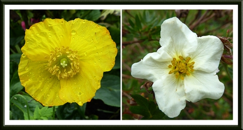 welsh poppy potentilla