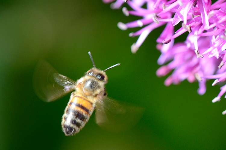 bee and allium