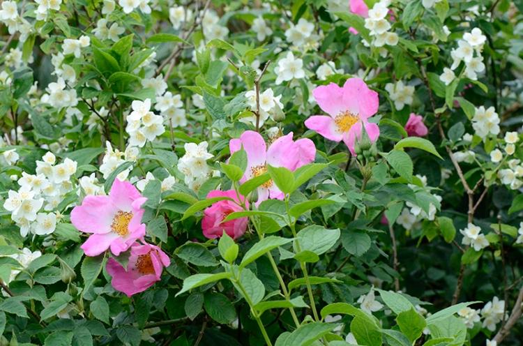 rose and philadelphus