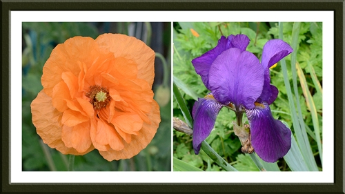 iceland poppy and iris