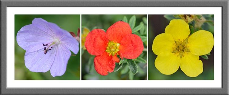 geranium and potentillas
