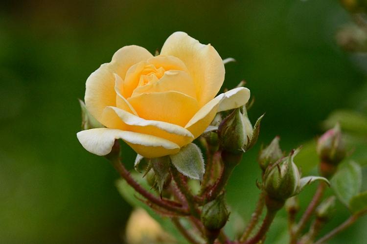 Rosa Goldfinch
