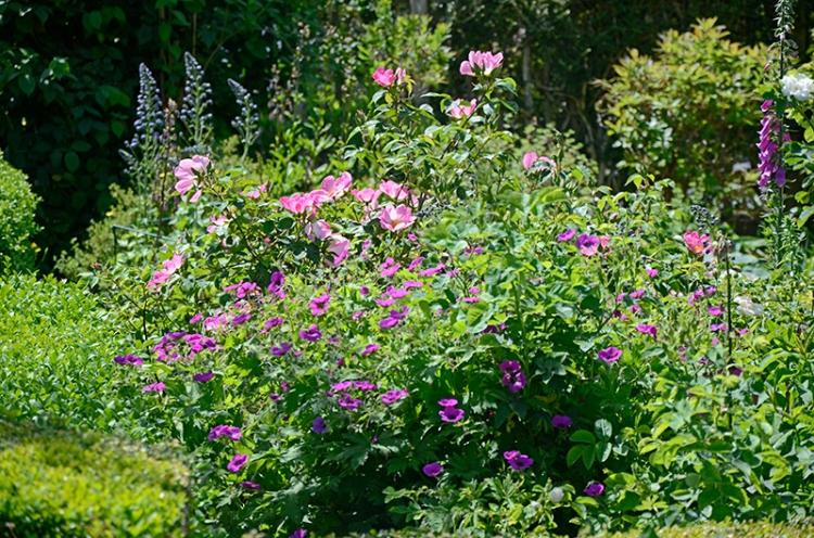 geranium and rose