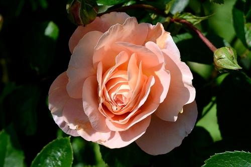 Rosa Wren