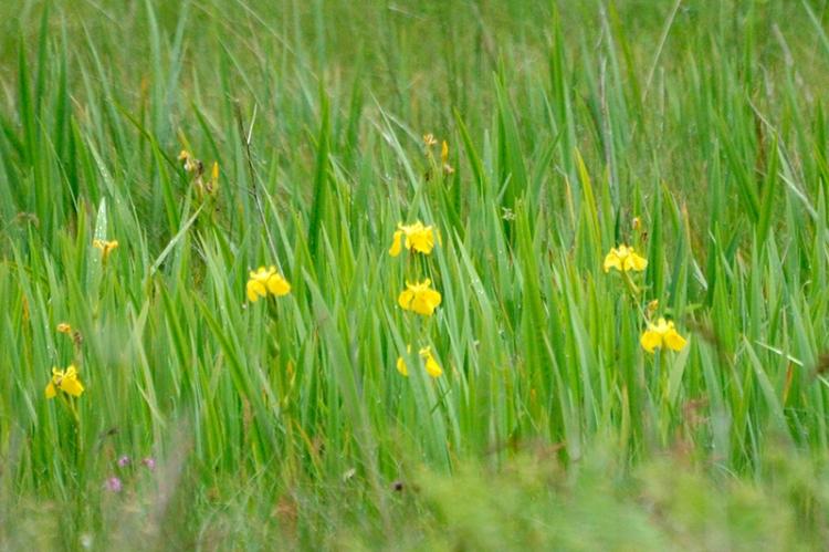 wild irises