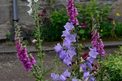 campanula and foxglove