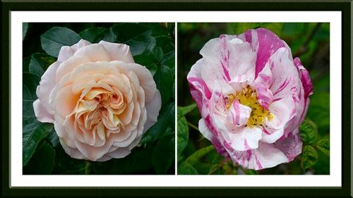 Rosa Wren and Rosa Mundi