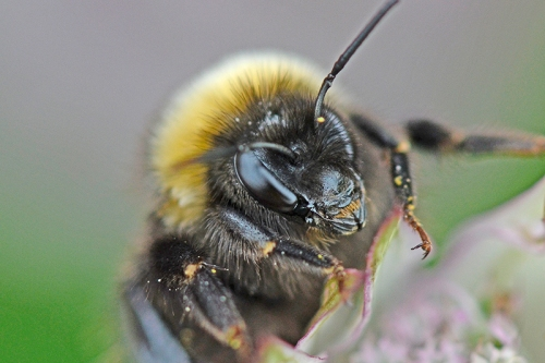 white tailed bumble bees