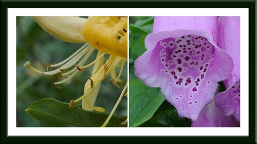 honeysuckle and foxglove