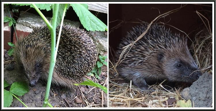 fiona's hedgehogs