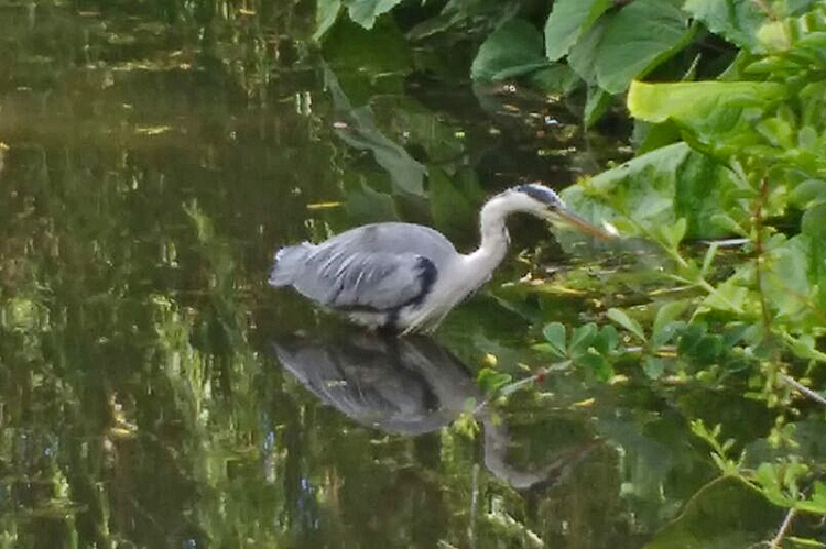 edinburgh heron