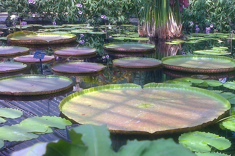 Inside the water lily house