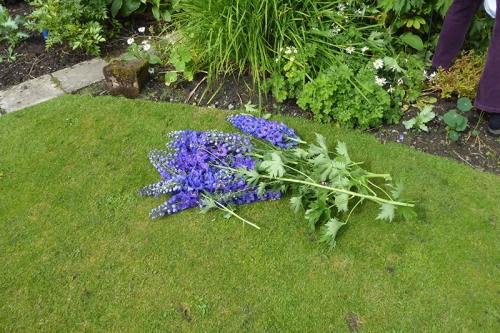 damaged delphiniums