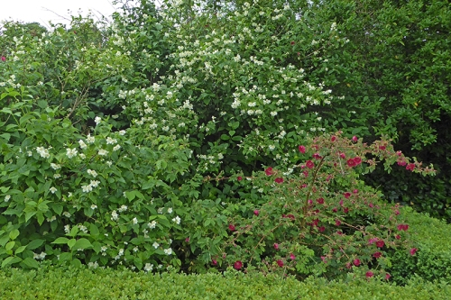 rose and philadelphus
