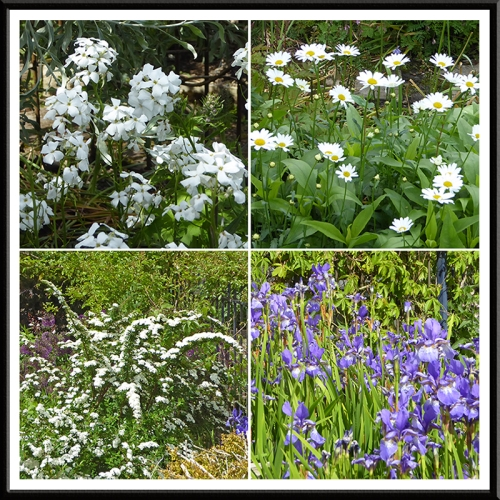Sweet rocket, ox eye daisies, irises and spirea