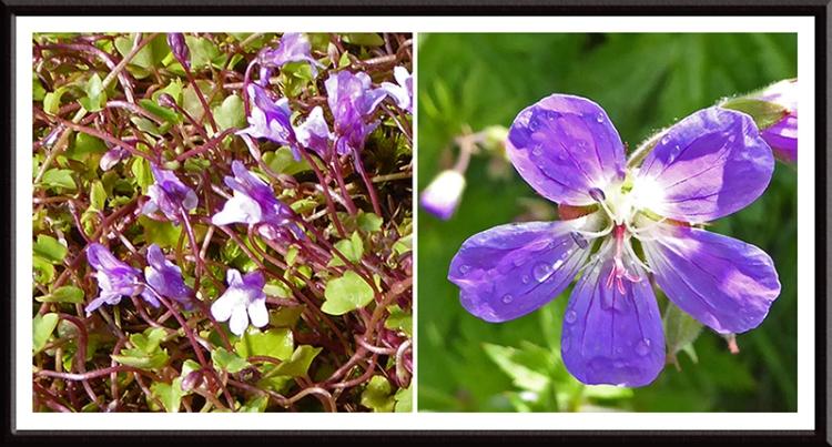 toadflax and geranium