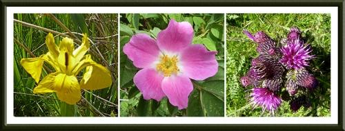 iris, rose and thistles