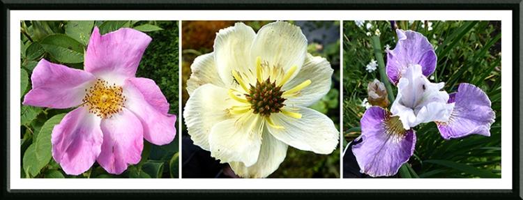 rose, troilus and iris