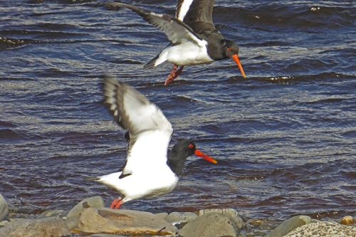 flying oyster catchers