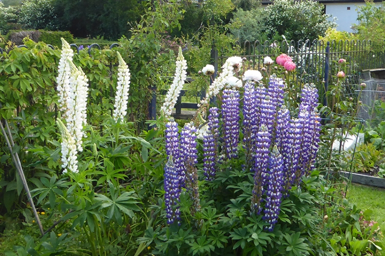 lupins and peonies