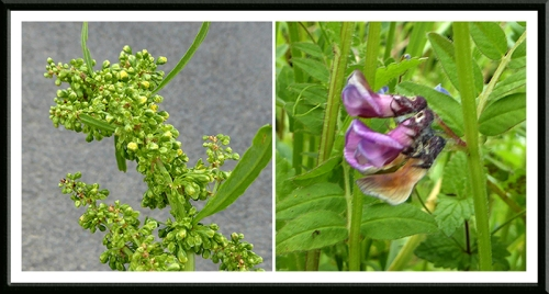 verge plants