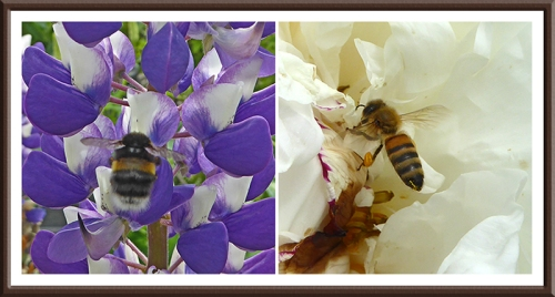 lupin and peony with bee