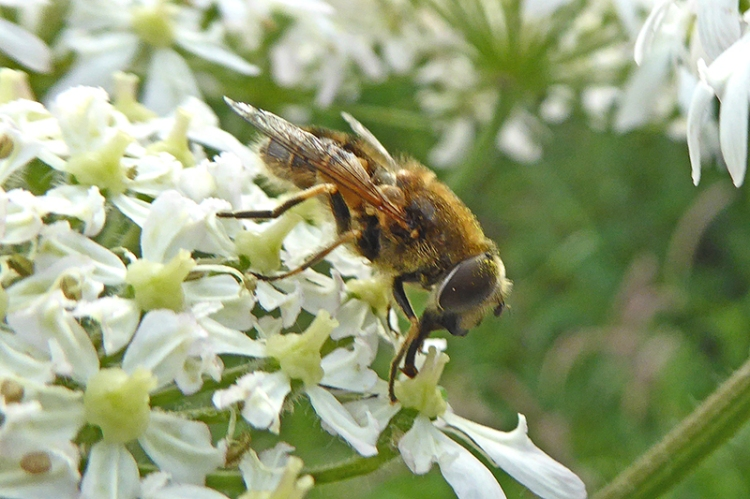an umbellifer and friend