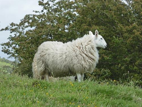 sheep on Meikleholm