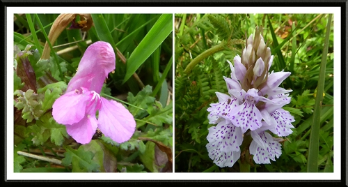vetch and orchid