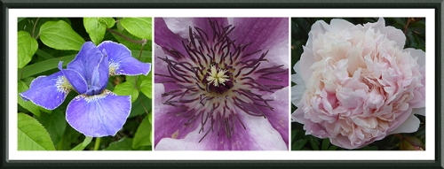 iris, clematis and peony
