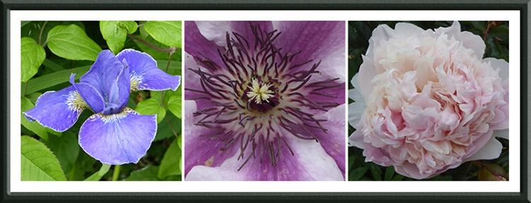 iris, clematis and peony