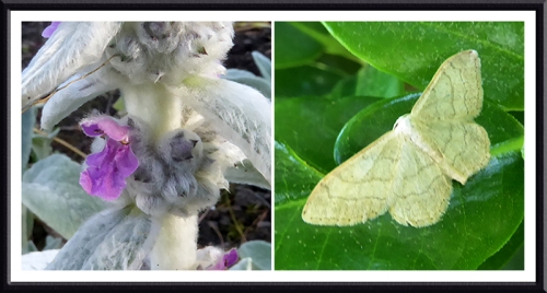 lambs ear and a moth