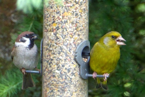 tree sparrow and greenfinch