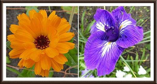 calendula and iris