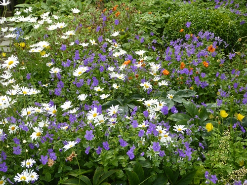violas and daisies