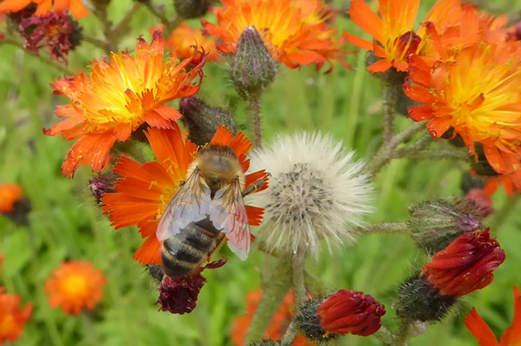 hawkweed and bee