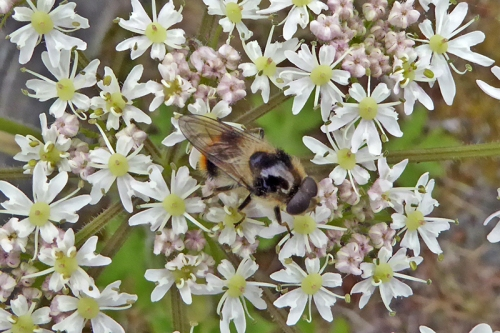 umbellifer with insect