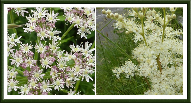 umbellifer and meadowsweet