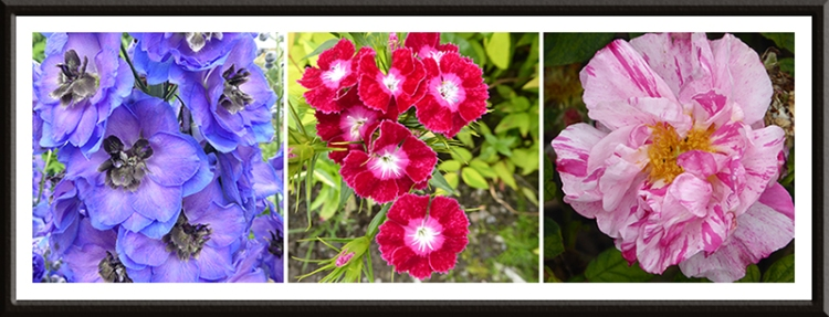 delphinium, sweet william and Rosa Mundi
