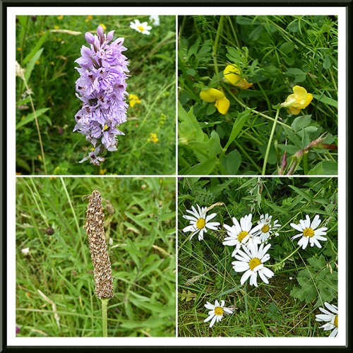 orchid, trefoil, plantain and daisy