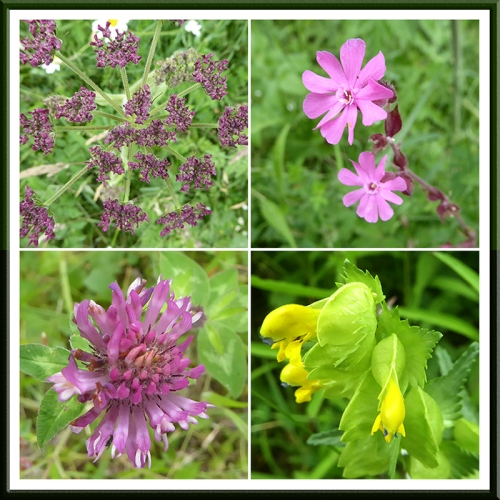 umbelifer, campion, rattle and clover