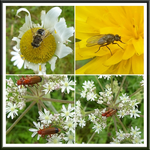 insects, flies, soldier beetles